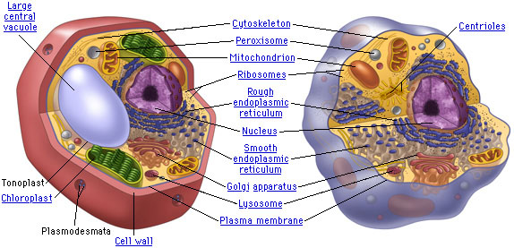 Structures that are common to both plant and animal cells are labeled